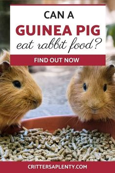 """If you've ever been to the pet store, you have noticed all the different types of pet food. You might have also seen that rabbit food and guinea pig food look very similar and stored next to each other. By looking at them, you may wonder to yourself, """"Can a guinea pig eat rabbit food?"""" However, Guinea pigs and rabbits have very different nutritional needs. Let's explore this together. #guineapigs #guineapigcare #smallanimals #petcare via @crittersaplenty"""