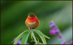 One of my favorite birds. I dream about seeing one in person someday.... --Pia (Rufous Hummingbird)