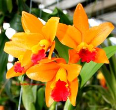 Rhyncattleanthe Netrasiri Starbright http://www.orchids-flowers.com/chiloschista-parishii-seidenf-1988/