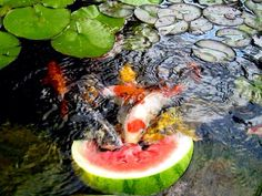 Koi Fish eating watermelon.  Photo from lagunaponds.com