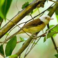 Collared Babbler - Laos, Malaysia, Myanmar, Thailand, and Vietnam