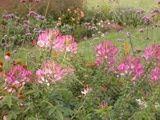 Self-Seeding Annual Flowers