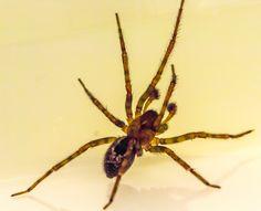 Species: Amaurobius similis or A. fenestralis male Credit: Kevin Serginson