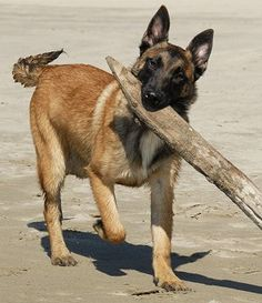 Your typical happy-go-lucky Mal that couldn't find an arm to gnaw on so he found a stick instead. ;)
