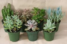 Succulents potted in glass votive holders & arranged in a row down the length of the dinner table.