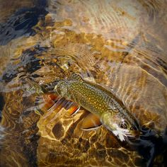 Fly fishing for pretty little brook trout.