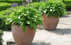 Pots with hostas