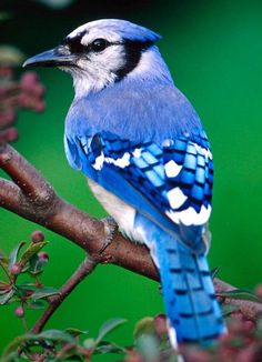 "Blue Jay...pretty with an attitude! IMHO [original quote...""mean but pretty""]"