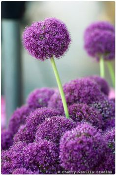 Purple allium - can't have too many of these Flower Names, My Flower, Flower Power, Grass Flower, Beautiful Flowers Garden, Beautiful Gardens, Beautiful Things, Fresco, Bloom Where You Are Planted