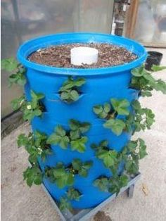 Make a drum garden. A 55 gallon drum can hold up to 72 strawberry plants (shown here), to fewer plants like squash or beans. Make it self watering by inserting a large PVC pipe with graduated sized holes from small to larger in circles up the pipe before filling with soil. Be sure to leave rocks on the inside bottom with drain holes for proper drainage and to prevent bottom plants from getting too much water