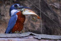 Foto martim-pescador-grande (Megaceryle torquata) por Lucas Leuzinger | Wiki Aves - A Enciclopédia das Aves do Brasil