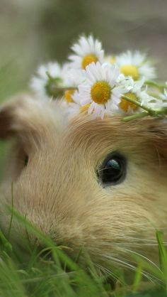 Guinea Pig and daisies