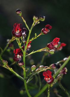 Bee Plant (Scrophularia californica)