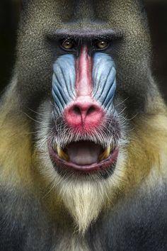 Cute Wild Animals, Animals And Pets, Beautiful Creatures, Animals Beautiful, Mandrill Monkey, New World Monkey, Baboon, Chimpanzee, Canvas Art Prints