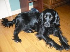 Lee is an adoptable Cocker Spaniel Dog in Belleville, MI. This is a year old sweetie....