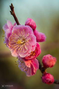 Japanese Plum Blossom by Chris Slavik on 500px