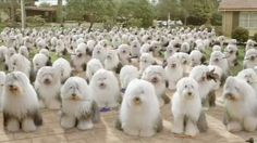 Dulux dogs