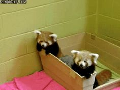 This adorable sibling rivalry. | The 27 Best Red Panda GIFs Of All Time