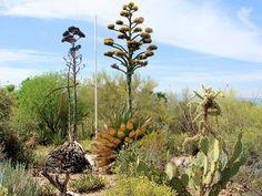 arizona desert flowers shawii xeriscape landscape plants flowers