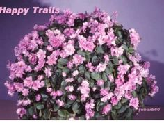AFRICAN-VIOLET-PLANT-HAPPY-TRAILS-PINK-SEMI-MINIATURE-TRAILING-VIOLET