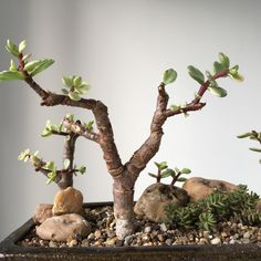 Jade Plant Bonsai, Succulent Bonsai, Jade Plants, Succulent Gardening, Echeveria, Bonsai Forest, Succulent Bowls, Bonsai Tree Types, Cactus