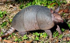 Nine-Banded Armadillo - (Nine-Banded, Long-Nosed Armadillo) - Dasypus novemcinctus - Found in North, Central and South America, this is the most widespread of the armadillos. Generally an insectivore feeding on termites and ants, it also eats beetles, grubs and worms - Image : © Carolyn Pepper / June 25, 2013 / Houston, Texas