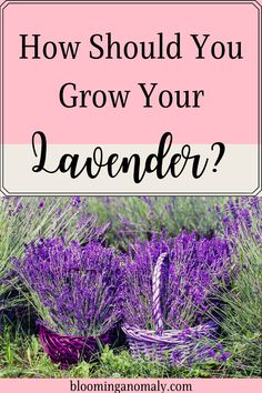 You can grow lavender in several different ways. Lavender grows well in pots and outdoors with other plants. Learn more about how to grow lavender in this post. #growlavender #herbs #herbgarden #lavendergarden Lavender Uses, Growing Lavender, Lavender Garden, Gardening For Beginners, Gardening Tips, Urban Garden Design, Garden Posts, Herb Garden, Container Gardening
