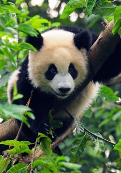 Giant Pandas - Chinese New Year - Endangered Species... cross curriculum