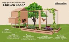 what to plant near your chicken coop #chickencoopideas