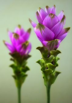 ~~Curcuma | Curcuma alismatifolia, Siam tulip or summer tulip is a tropical plant native to Laos, northern Thailand and Cambodia. Despite its name, it is not related to the tulip, but to the various ginger species such as turmeric. It can grow as an indoor plant, and is also sold as cut flowers | by outlaw_pete~~