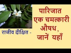 Rajiv Dixit - पारिजात एक बहुत अद्भुत औषध। Parijat (Night Jasmine) is Amazing Medicine- राजीव दीक्षित Indian Videos, Social Awareness, Jasmine, Medicine, Night, World, Health, Places, Health Care