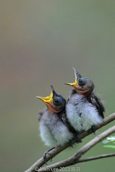 Juvenile Black-naped Monarch chicks by Allen Lee(houpc), via Flickr