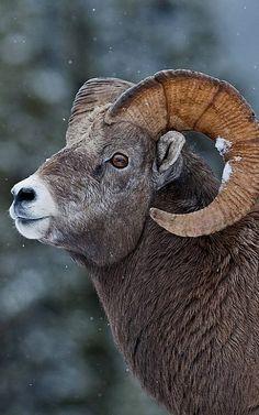 AstroSpirit / Aries ♈ / Fire / Ram / Belier / Bighorn sheep in Yellowstone National Park Farm Animals, Animals And Pets, Cute Animals, Wild Animals, Cabras Animal, Beautiful Creatures, Animals Beautiful, Regard Animal, Big Horn Sheep