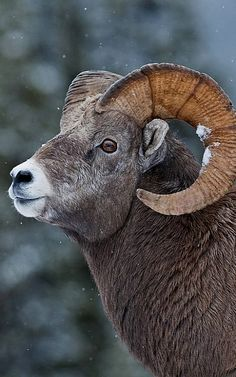 Bighorn sheep.. Banff National Park, Canada (by Dan Newcomb Photography on Flickr)