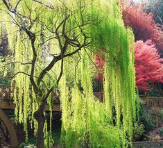 Weeping willows are not strong trees, but they do look so lovely next to the water.