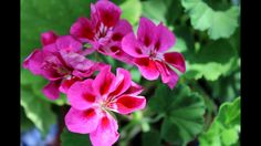 How to use geraniums for love spells & protect. Magic Spells, Love Spells, Geraniums, Being Used, Spelling, Mystic, Rose, Flowers, Plants