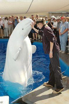 "Beluga Whale at SeaWorld San Diego saying: ""Please set me free! I'm so depressed; I just wanna swim into the wide ocean! Beautiful Sea Creatures, Animals Beautiful, Rare Animals, Strange Animals, White Whale, Wale, Mundo Animal, Killer Whales, Sea World"