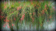 Russelia equisetiformis, red flowers