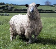 Let's find all the rare sheep breeds - The Wensleydale