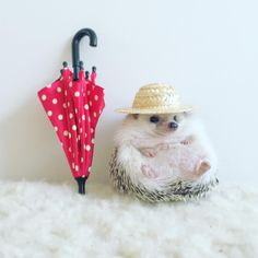 The Many Hats Of Azuki The Hedgehog (The One Who Went Camping Last Week!)