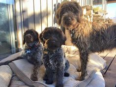 Wirehaired Pointing Griffon & Pups ~ Classic Look
