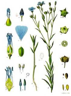 The flax plant. Isn't the blue colour of the flax flowers beautiful? This time I'll talk about linen which is a wonderful fabric to wear on warm summer days, but it can. Vintage Prints, Vintage Botanical Prints, Botanical Drawings, Botanical Art, Illustration Botanique Vintage, Botanical Illustration, La Malmaison, Illustrator, Impressions Botaniques