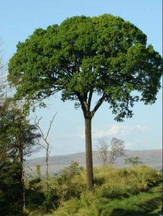 Brasil - Jequitibá Cariniana estrellensis