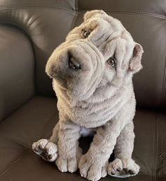 If you want to adopt a puppy and consider what breed to choose, we warn you NOT to get a Shar-Pei dog. Here are at least 15 reasons why. Big Dogs, Cute Dogs, Dogs And Puppies, English Bulldogs, French Bulldogs, Sharpei Dog, Shar Pei, Stupid, Fur Babies
