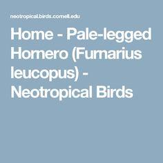 Home - Pale-legged Hornero (Furnarius leucopus) - Neotropical Birds