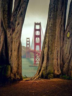 Golden Gate Bridge through Cypress Trees