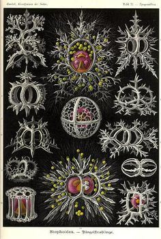 Items similar to Vintage Print Natural History Art Print: Ernst Haeckel Scientific Illustration Art Print on Etsy Arte Coral, Coral Art, Ernst Haeckel Art, Nautical Art, Sea Art, Art Plastique, Botanical Illustration, Science Illustration, Antique Illustration