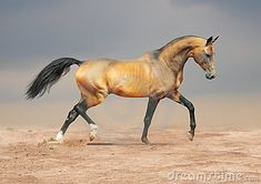 Golden dun akhal-teke horse by Olga Itina, via Dreamstime -- Akhal-Teke -- The Akhal-Teke evolved about three thousand years ago in southern Turkmenistan where they are the national emblem. They are named after a nomadic tribe.