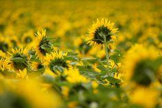 Sonnenblumenfeld in der Schweiz von Christian Camenzind. Fröhlich und voller Sonne ist dieses Motiv mit den gelben Sonnenblumen. Eine Fototapete, die gute Laune verbreitet.