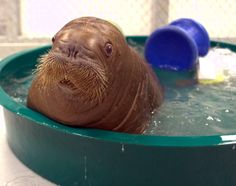 A 15-week-old rescued baby walrus named Mitik takes a bath.